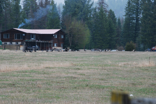 A flock of around 35 birds hanging out in the feild right outside of someones house